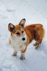 雪中玩耍的柯基