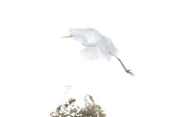 飞行中的白鹭