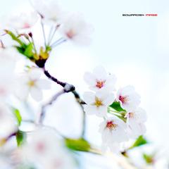 四月樱花5