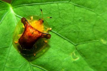 甘薯腊龟甲