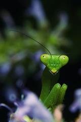 小螳螂01
