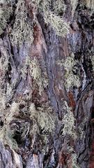 大兴安岭落叶松树皮,上面挂上的是松萝。