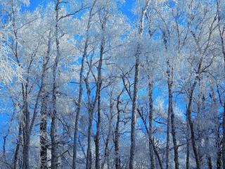 大兴安岭原始森林冬季雪景,雪原雾凇、树林冰霜、树挂。001