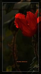 火焰花(2)