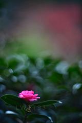 红叶下的茶花